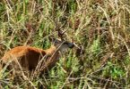 ciervo del pantano